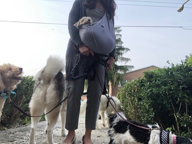 Always walking multiple dogs, a pet sling for puppy mills dogs is my go-to item to help them adjust to outside settings, get some fresh air, all while letting them feel like part of the pack.